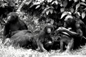 """Bonobo Family"" Columbus Zoo- Columbus, OH 2009"