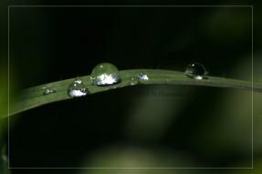 Dew Grass