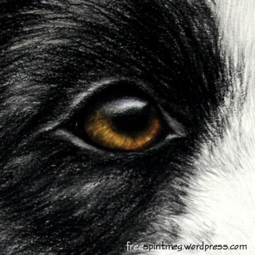 bordercollie eye crop