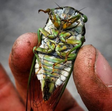 Swamp Cicada or Morning Cicada (Neotibicen tibicen tibicen)