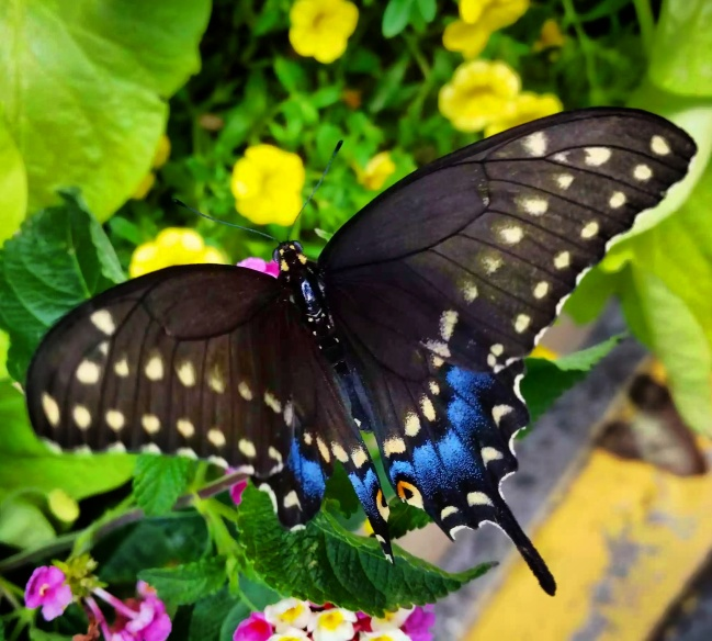Black Swallowtail, female (Papilio polyxenes) also known as American Swallowtail or Parsnip Swallowtail.