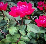 Knock Out Roses, a hybrid from the Rosa genus.
