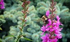 A Bumblebee enjoying Purple Loosestrife (Lythrum salicaria)