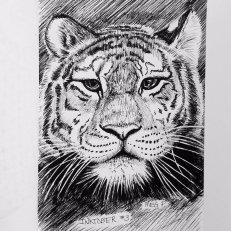 The majestic tiger. They have always fascinated me and I've been wanted to draw another one for a long time. I think another fine art tiger piece is in order!