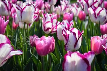 Tulip Fest 1