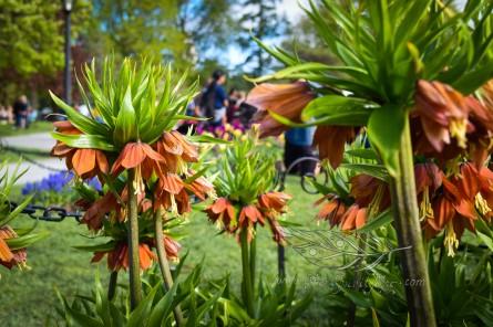 Tulip Fest 10