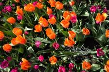 Tulip Fest 12