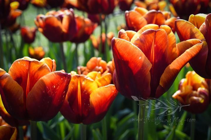 Tulip Fest 13