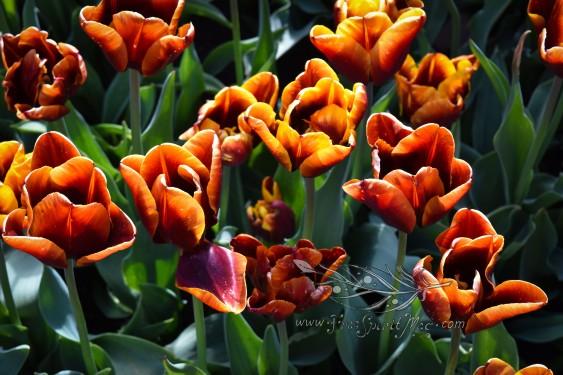 Tulip Fest 14.jpg