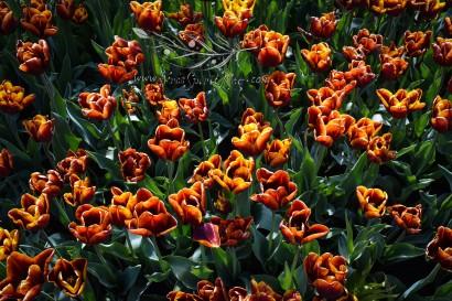Tulip Fest 15
