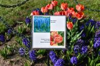 Tulip Fest 18