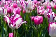 Tulip Fest 19
