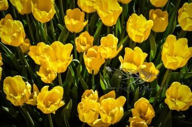 Tulip Fest 5