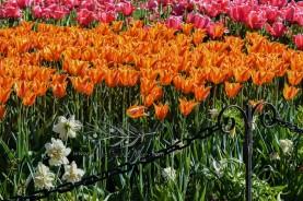Tulip Fest 7