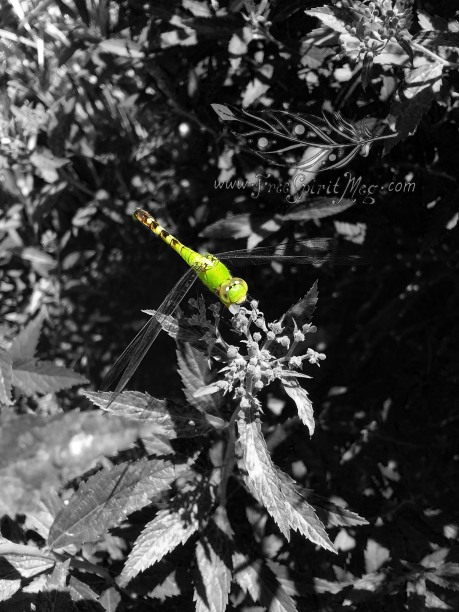 Dragonfly bw