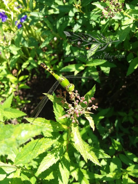 Dragonfly color