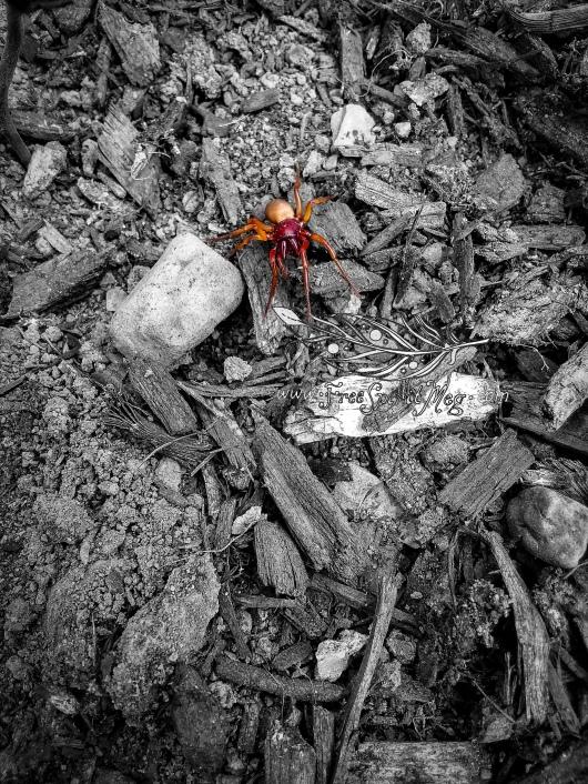 Woodlouse Hunter Spider