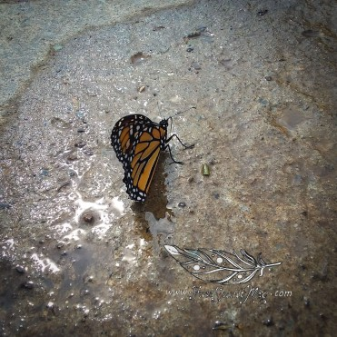 Monarch Butterfly, so far the best shot I have been able to get of one! They don't stay in one place long!